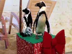 ADOPT A PENGUIN! Program at OdySea back for a second year - ABC15 Digital [Video]