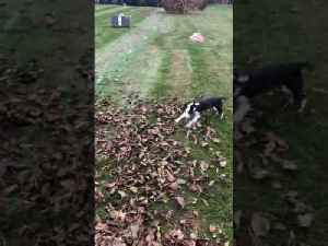 Dog Jumps Cheerfully While Playing With Owner Amidst Heap Of Dry Leaves [Video]