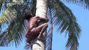 Agile pensioner climbs up 90ft high coconut trees without any safety equipment [Video]