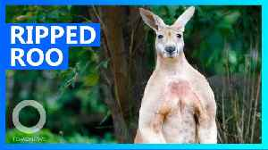 Muscular kangaroo is harassing people and tearing up gardens [Video]
