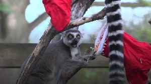 Lemurs, tigers and squirrel monkeys enjoy festive treats at ZSL London Zoo [Video]
