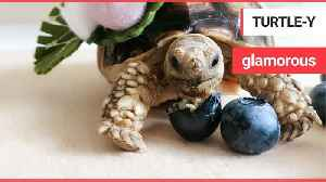 This glamorous tortoise has an extensive Instagram following - and a better wardrobe than you [Video]