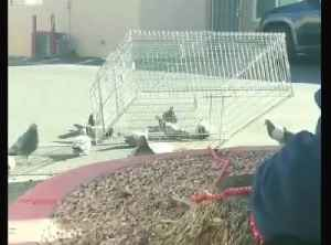 News video: Billie The Pidge caught