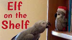 Talking parrot chats to the Elf on the Shelf [Video]