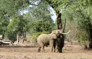 Spotted: Elephant standing on hind legs in Zimbabwe [Video]