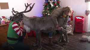Injured reindeer saved from being put down by physiotherapy to pull his first sleigh [Video]