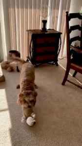 Crazy Labradoodle goes nuts over her toy [Video]