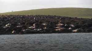 Strangford proves to be perfect seal nursery as lough sees record births [Video]