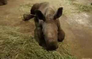 New rhino calf enjoys scrubs at Singapore zoo [Video]
