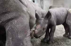 Endangered black rhino gives birth in U.S. zoo [Video]