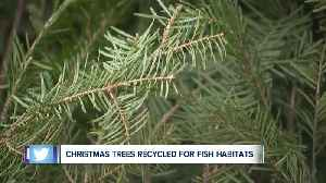 Unused Christmas trees are being used to help improve fish habitats in Northeast Ohio [Video]