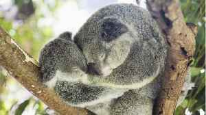 Thirty Percent Of Koala May Have Died From Australia's Bushfires [Video]