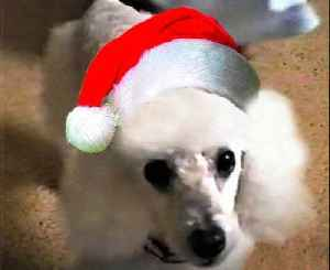 Senior poodle is a pro at opening Christmas presents [Video]
