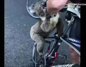 """""""He's so thirsty"""": koala given water in Adelaide as severe heatwave hits [Video]"""