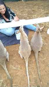 Ingenious Invention Feeds Entire Wallaby Mob [Video]