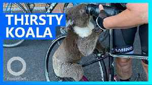 Super thirsty koala grabs a drink from cyclist's water bottle [Video]