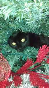 Black Cat Becomes Christmas Tree Ornament [Video]