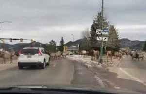 Elk herd takes over Colorado road [Video]