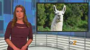 Llamas Stolen From Perris Exotic Animal Farm, Possibly By Animal Rights Activists [Video]