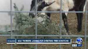 Farms seeking Christmas tree donations to feed goats [Video]