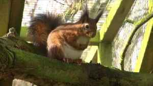 Scientists seek to save red squirrels by editing the genes of the grey ones [Video]