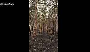 Bushfires leave forest floor covered in ash and trees burnt to a cinder in New South Wales [Video]