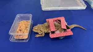 A bearded dragon that had been so badly neglected she was left paralysed has been able to crawl across her tank for the first ti [Video]