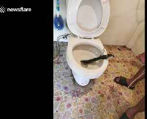 Horrifying moment a COBRA was found in outdoor toilet [Video]
