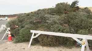 Island Beach State Park Receives Thousands Of Donated Christmas Trees To Build Up Dunes [Video]