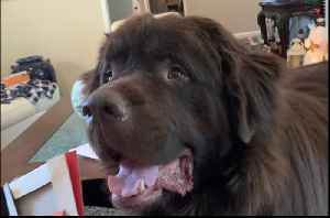Huge Newfoundland rummages through Christmas gifts [Video]