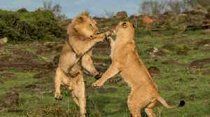 Dramatic Scenes As Lioness Takes On A Lion... But Who Wins? [Video]