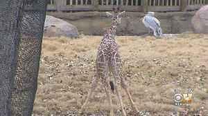 Wild Wednesday: Baby Giraffes [Video]