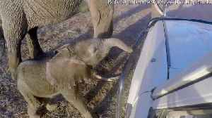 Baby Elephant Investigates Landcruiser [Video]