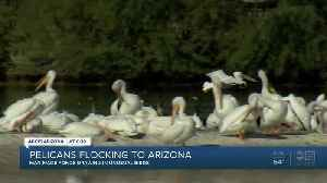 Pelicans flocking to Arizona [Video]