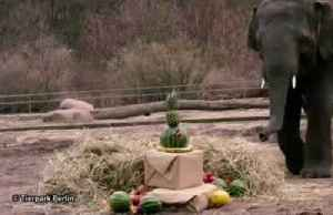 Berlin zoo hosts birthday party for elephant Edgar [Video]