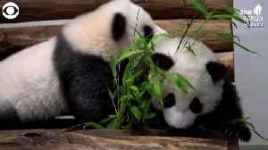 WEB EXTRA: Playing Panda Twins [Video]