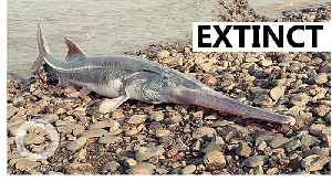 The Chinese paddlefish is extinct [Video]