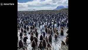 One of the biggest king penguin colonies in the world found in Salisbury Plain, South Georgia [Video]