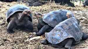 These giant tortoises engage in the world's slowest battle over tasty snacks [Video]