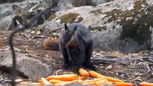 Wildlife victims of wildfires get food drops in Australia [Video]