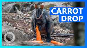 Carrots and sweet potatoes airdropped to hungry animals [Video]