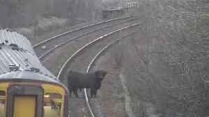 Highland cow causes hold ups on Scottish railway