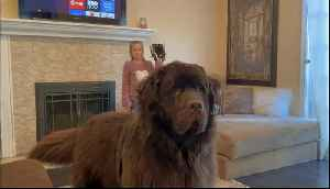 Watch out! Huge Newfoundland wants to plays catch with family [Video]