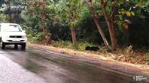 Patient sloth bear waits for vehicles to pass before crossing road in India [Video]