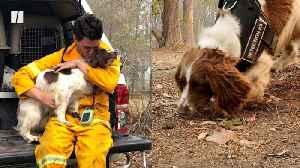 Dog Sniffs Out Injured Koalas In Australia [Video]