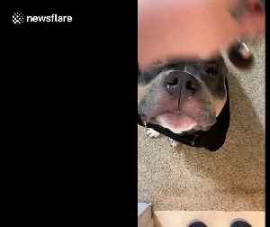 Adorable pit bull, Thor, getting ready for his close up in New Jersey [Video]