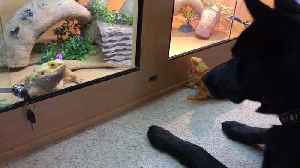 Pup gets so confused over bearded dragon's behavior [Video]