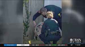 Suffolk County Officers Help Catch 3 Pigs On Sunrise Highway [Video]