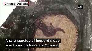 Rare species of leopard's cub found in Assam's Chirang [Video]