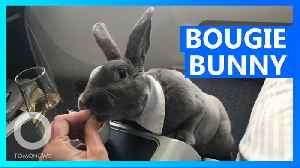 Bow-tie wearing rabbit flies business-class to Japan [Video]